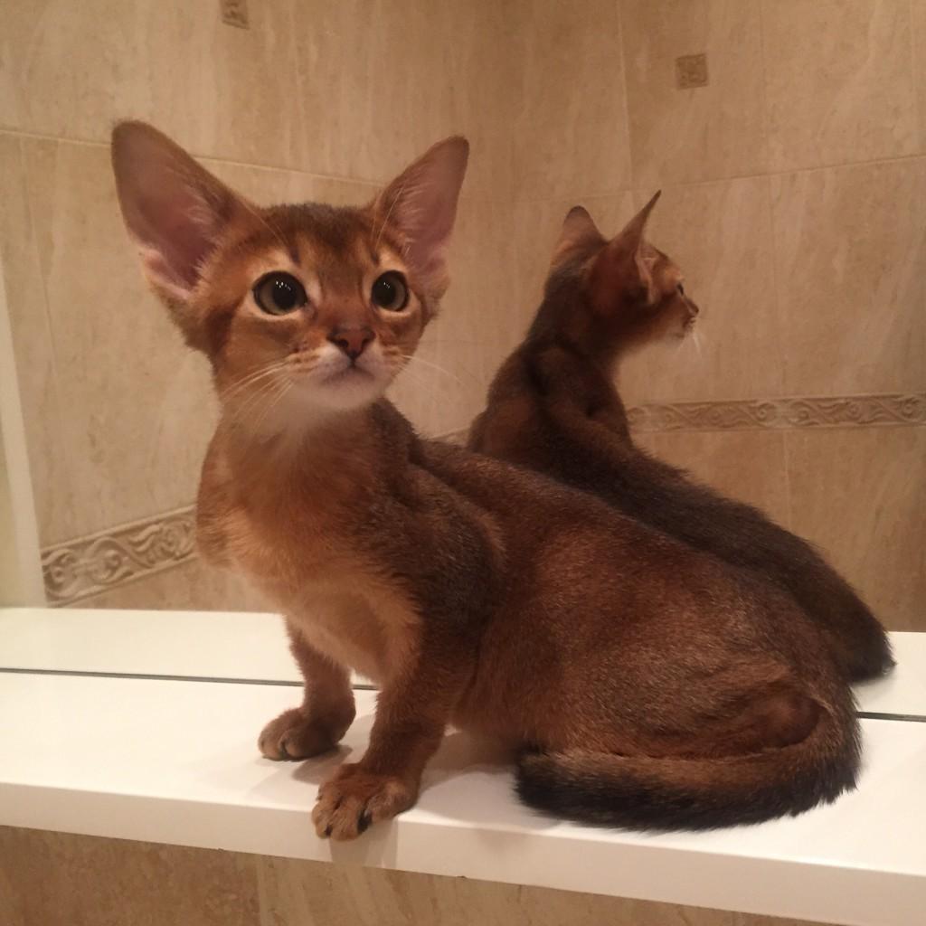 Abyssinian kitten ruddy | Cattery Nefertee