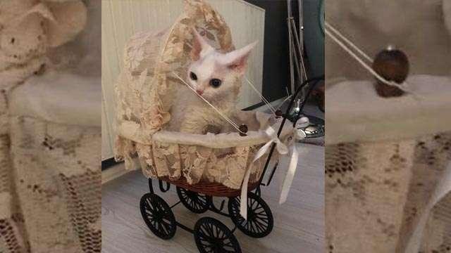 Victoria - White kitty devon rex. Reviews of Nefertee